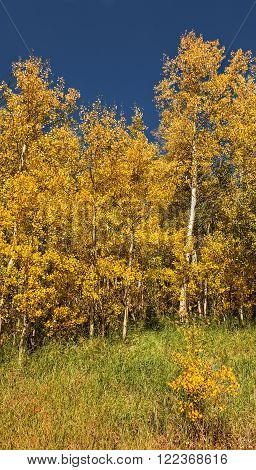 Beautiful Golden aspen trees in Aspen, Colorado