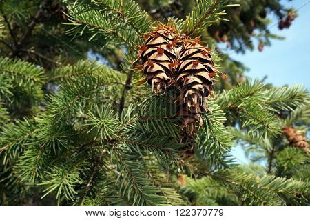 Pine cones, needles and branches of a Douglas fir tree (Pseudotsuga menziesii) during October in Joliet, Illinois.