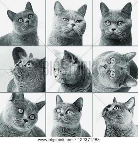 British Shorthair Cat Closeup