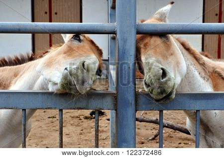 GRODNO BELARUS - JUNE 15 2014: Two adult mule with elongated heads behind a metal fence. Zoo Grodno Belarus.