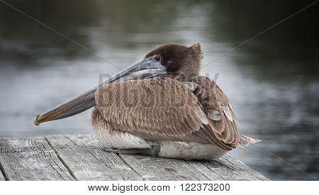 Brown Pelican resting on wooden boat dock