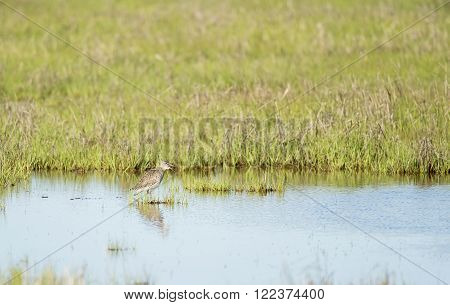 Willet making its presence known in saltmarsh