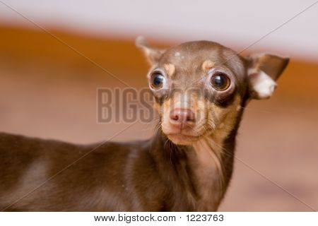 Dog Portrait (Chihuahua)