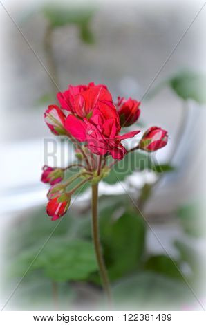 Flowering red geranium-medicinal plants in komatnyh conditions