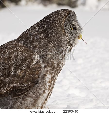 Profile image of a Great Grey Owl eating its prey.  Provincial bird of Manitoba, Canada.