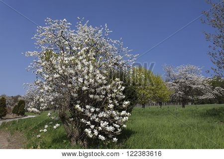 Blossoming cherry tree and magnolia tree in Lower Saxony, Germany, Europe