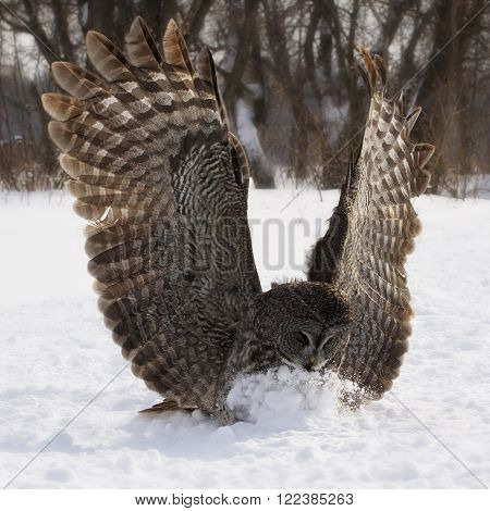 Square, Great Grey Owl in flight, catching prey in the snow.  Provincial bird of Manitoba, Canada.