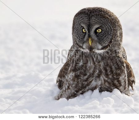 Close up, head and shoulders image of a Great Grey Owl in the snow.  Provincial bird of Manitoba, Canada.