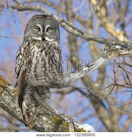 Square, close up image of a Great Gray Owl, camouflaged, and perched on an oak tree branch.  Provincial bird of Manitoba, Canada.