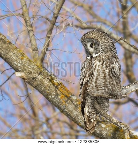 Square, close up image of a Great Grey Owl, camouflaged and perched on an oak branch.  Provincial bird of Manitoba, Canada.