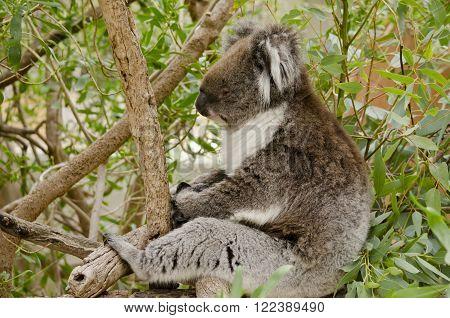 this is an australian koala in a eucalypus tree