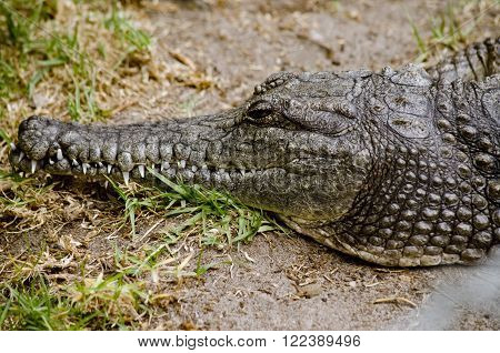 this is a close up of a salt water crocodile