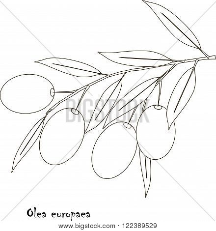 Black and white sketch branch of Olea europea, fruit and leaves. Illustration, art design element. Herbs, healthy food, organic, medicinal herb, packing design, vector, EPS, JPEG