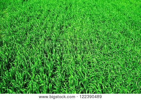 green wheat field closeup as background, spring landscape