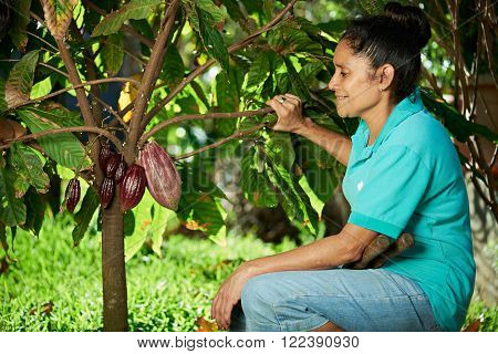 farmer woman look cacao pod on tree