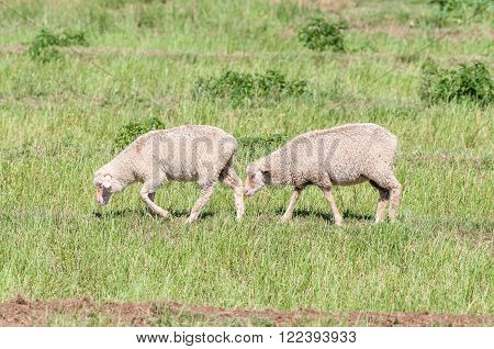 Merino sheep on a farm near Cookhouse, a small town in the Eastern Cape Province