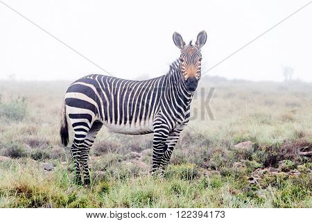A mountain zebra in mist covering the mountains of the Mountain Zebra National Park near Cradock in South Africa