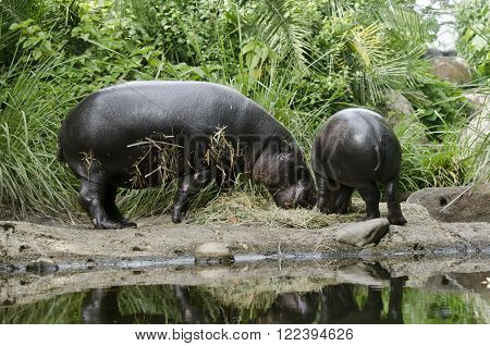 this is a mother and son pygmy hippo grazing