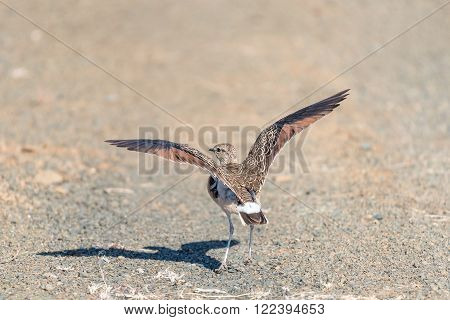 Africa; Eastern Cape Province; Kuzuko; Rhinoptilus africanus; Smutsornis africanus; South Africa; Summer; african; animal; bird; double-banded courser; fly; landscape; morning; nature reserve; sunlight; sunny; wildlife;