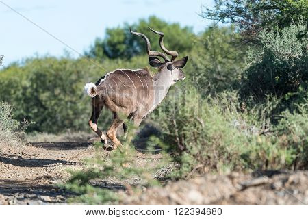 A kudu bull, Tragelaphus strepsiceros, running in a typical scene in a game park in South Africa