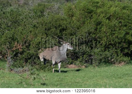 A common eland, Taurotragus oryx oryx, between trees in a typical scene in a game park in South Africa