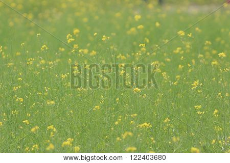 yellow green field in spring at Sha Lo Tung
