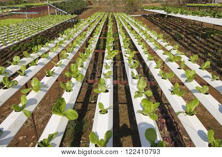 Organic vegetables hydro phonic Plantation are grown on the mountains.