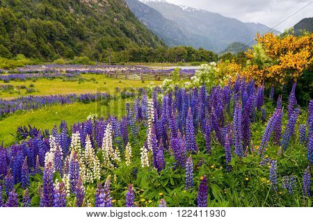 Lupine flowers at Simpson River Valley, Simpson River National Park, near Puerto Aisen and Coyhaique, Patagonia, Chile