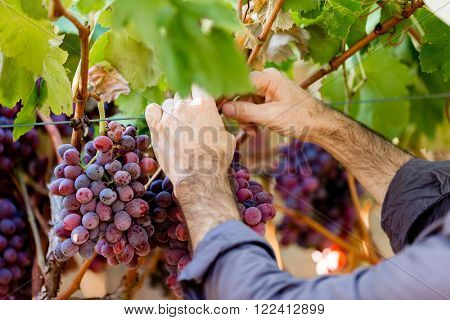 Hands holding red grapes in the vineyard