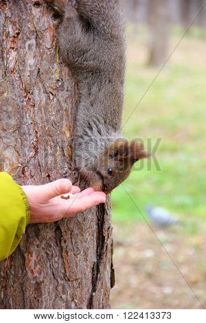 grey brown squirrel eats heartily the nut with the hands hanging upside down on the tree