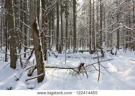Snowfall after deciduous stand in morning with snow wrapped trees and old linden in foreground,Bialowieza Forest,Poland,Europe