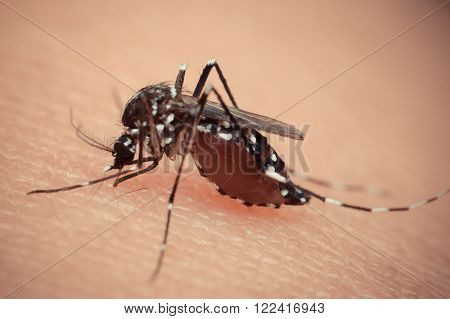 Macro of mosquito sucking blood close up on the human skin. Mosquito is carrier of Malaria, Encephalitis, Dengue and Zika virus