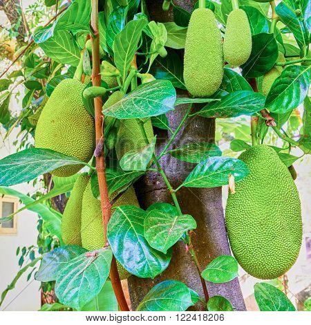 Fruit laden tree full of Jack fruit