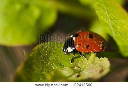 a lady bug (lady bird) on a green leaf