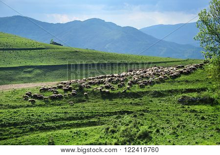 Herd of sheep in the spring in the meadow