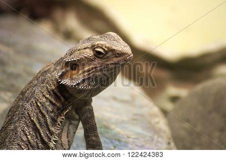 Inland Bearded Dragon (pogona Vitticeps) Sitting On Stone