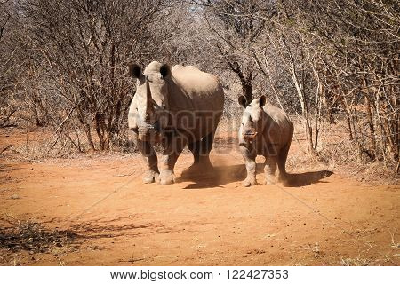 Mother White rhino with baby Rhino, South Africa.