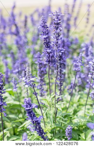 Blue Salvia farinacea flowers blooming in the garden