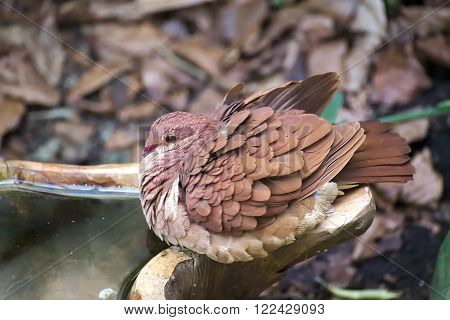 Ruddy Quail Dove (geotrygon Montana) Sitting On Edge Of Water Bowl