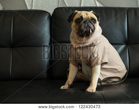 Cute lonely dog puppy pug sad and sit on black sofa wait someone.