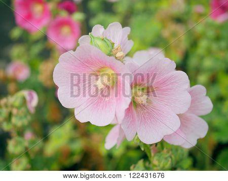Close up Pink Hollyhocks flower in the garden with blur background