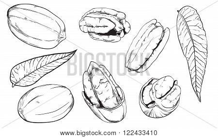 Pecan on white background. Pecan seeds. Engraved raster illustration of leaves and nuts of peacan. Isolated pecan. Raster illustration.