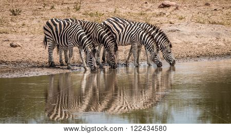 Drinking Zebras in the Kruger National Park, South Africa.