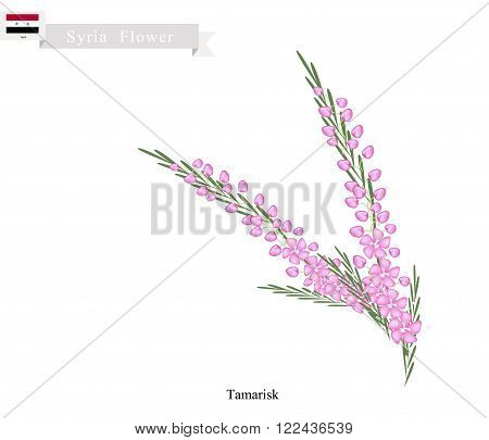 Syria Flower Illustration of Pink Tamarisk or Salt Cedar Flowers. One of The Native Flower in Syria.