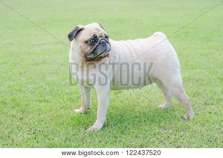 Pug dog puppy stand on green grass fields