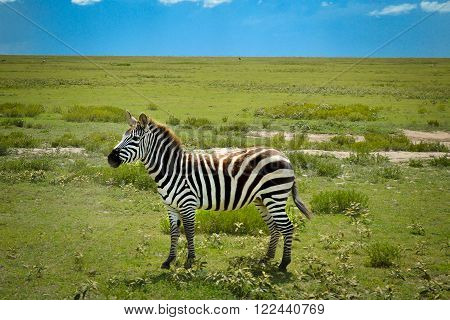 Nice zebra adventure safari in Serengeti, Tanzania, Africa