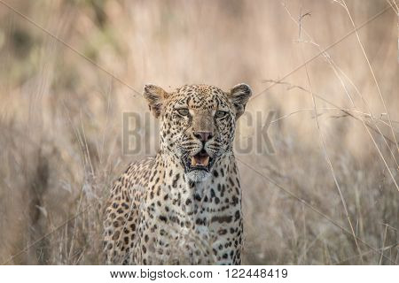 Leopard in the grasses in the Kruger National Park, South Africa.