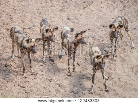 Pack of African wild dogs in the Kruger National Park, South Africa.