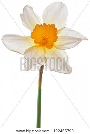 Daffodil Lent Lily Isolated on White Background