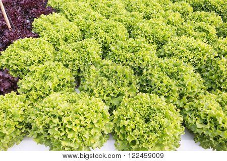 Grow Vegetable In Organic Farm
